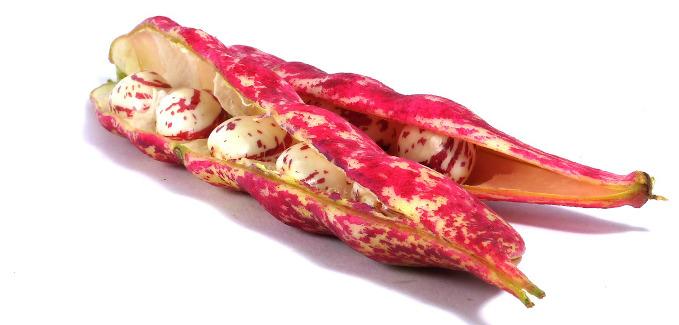 Trockenbohne Hartschielen Weiß-Rot