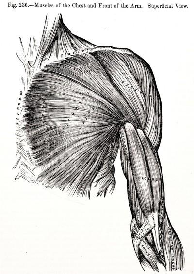 Muskelfasern Oberkörper Vegan